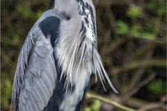 Grey-Heron-by-Sue-Davis