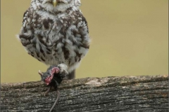 Little-owl-with-mouse-by-Jenny-Webster