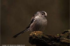 Long_Tail_Tit_by_Rebekah_Nash