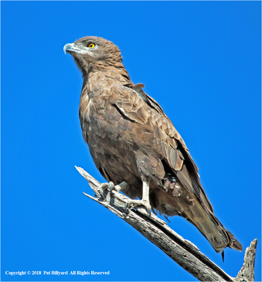 Brown Snake Eagle by Pat Billyard