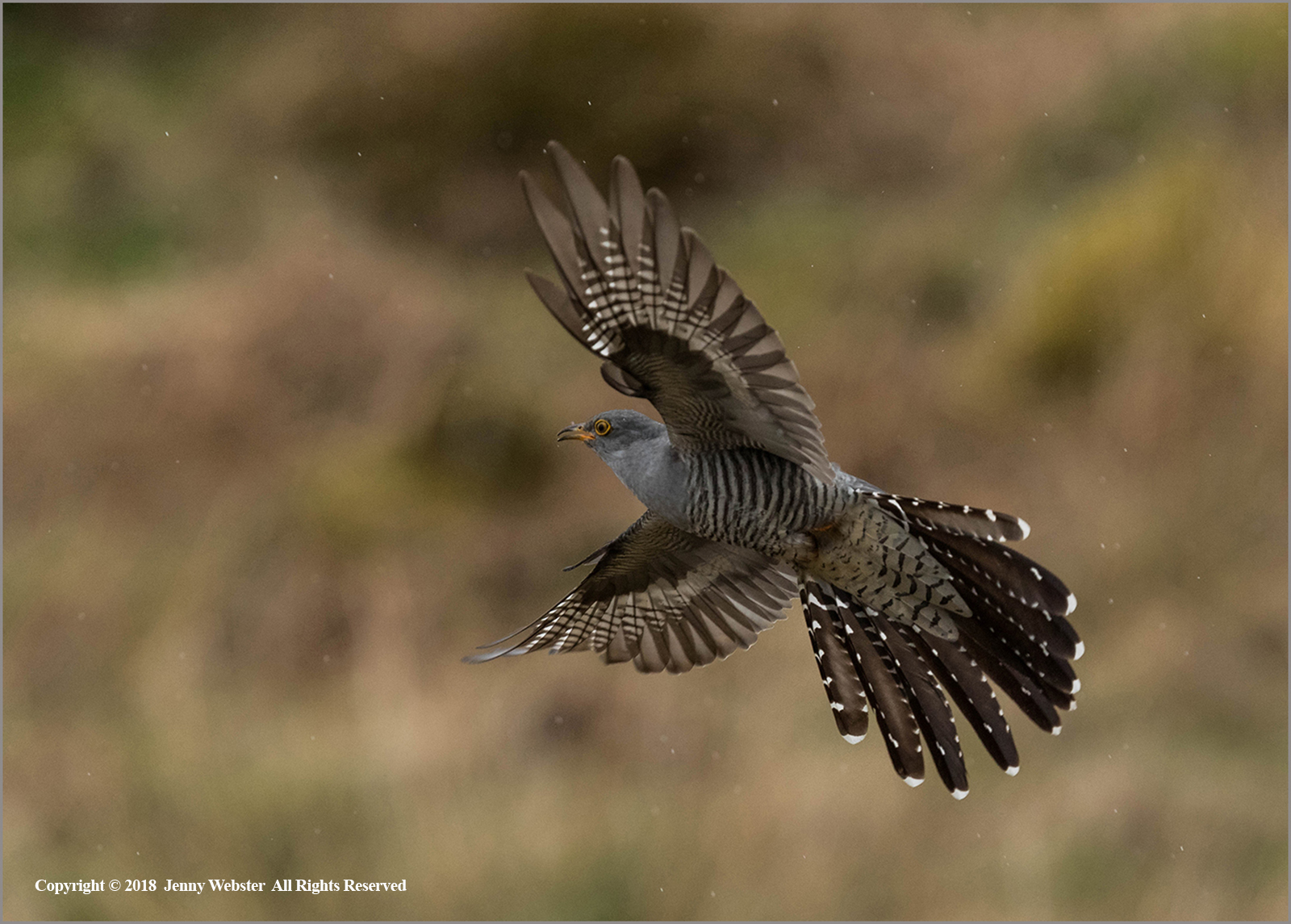 Cuckoo in Flight in the Rain by Jenny Webster