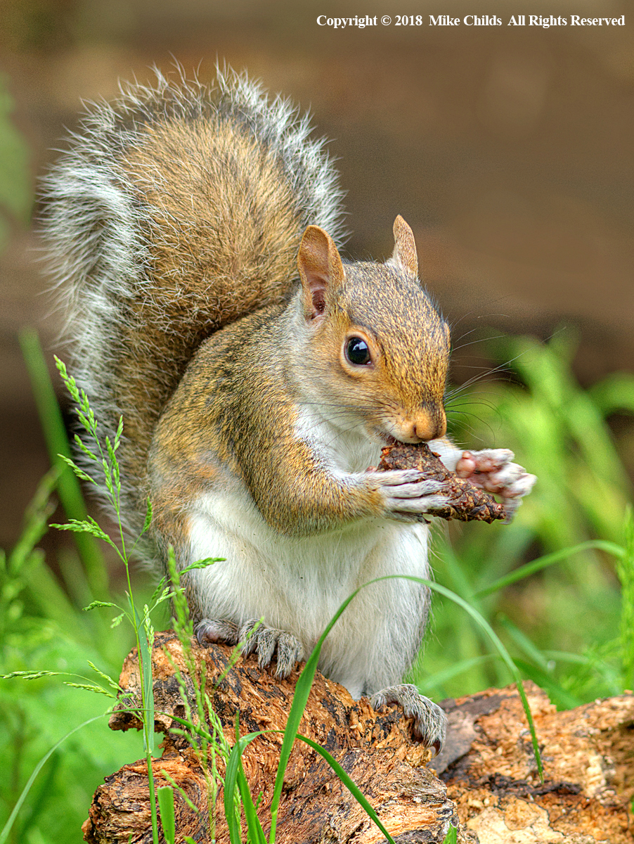 Grey Squirrel by Mike Childs