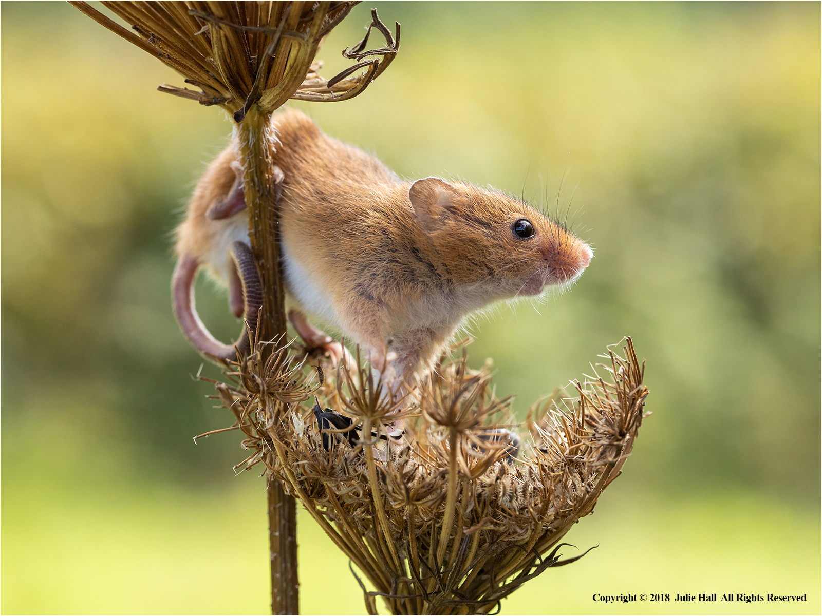 Harvest Mouse by Julie Hall