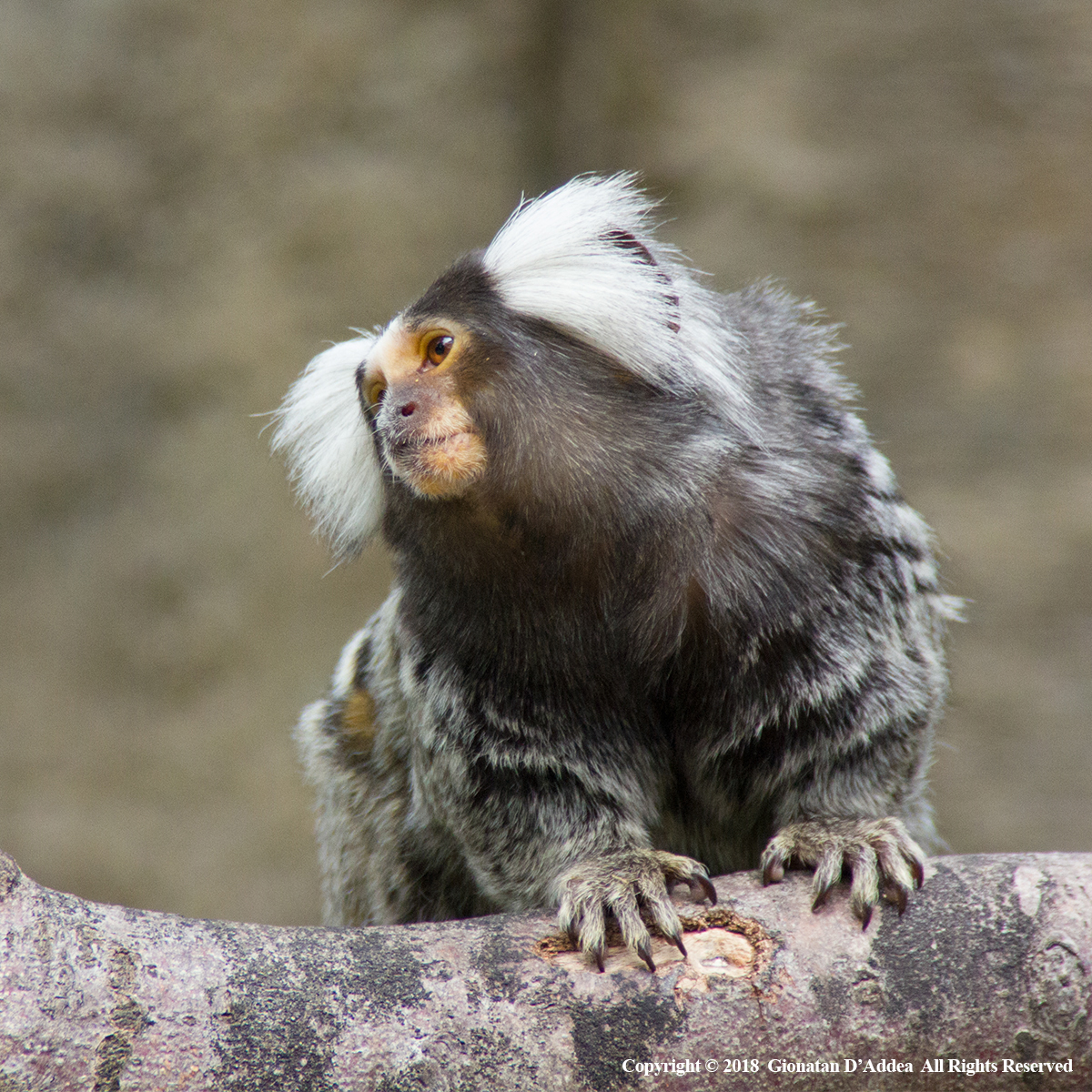 Marmoset Monkey by Gionatan D'Addea