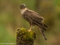 Female Sparrowhawk battling the wind and rain by Jenny Webster