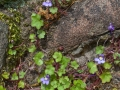 Ivy Leaved Toadflax by David Jellie