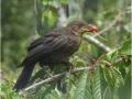 Juvenile Blackbird by Sheila Billingham