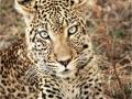 Leopard by Pat Billyard
