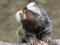 Marmoset Monkey by Gionatan D'Addea