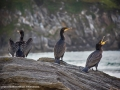 Restless Cormorants by Michael McIlvaney