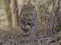 JennyWebster_LeopardAttack