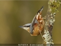 JohnCaswell_NUTHATCH
