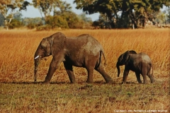 African-Elephants-by-Pat-Billyard