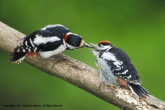 Greater-Spotted-Woodpecker-with-Chick-by-Richard-Chapman
