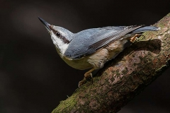 Nuthatch-by-Rebekah-Nash