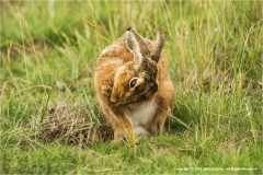 Brown-Hare-Washing-by-Barry-Green