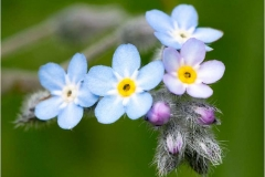 Forget-me-not-by-Julie-Hall