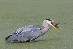 Grey-Heron-by-Linda-Allen