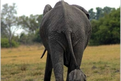 African-Elephant-with-young-baby-by-Jenny-Webster
