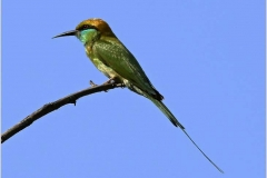 Green-bee-eater-by-Jenny-Webster