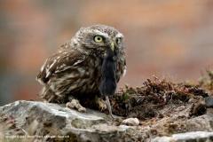 Little-Owl-by-David-Ward