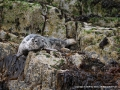 Grey Seal by Sue Davis