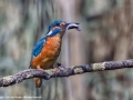 Kingfisher with fish by Sue Vernon
