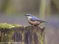 Nuthatch by Julie Bridgwater