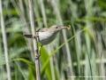 Reed Warbler by John Davidson