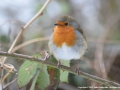 Robin by Julie Bridgwater