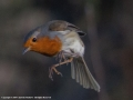 Robin in flight by Charlotte Mathews