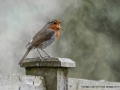 Robin in full song by Sue Vernon