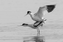 Avocets-by-Richard-Chapman