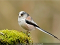 JohnCaswell_LongTailedTit
