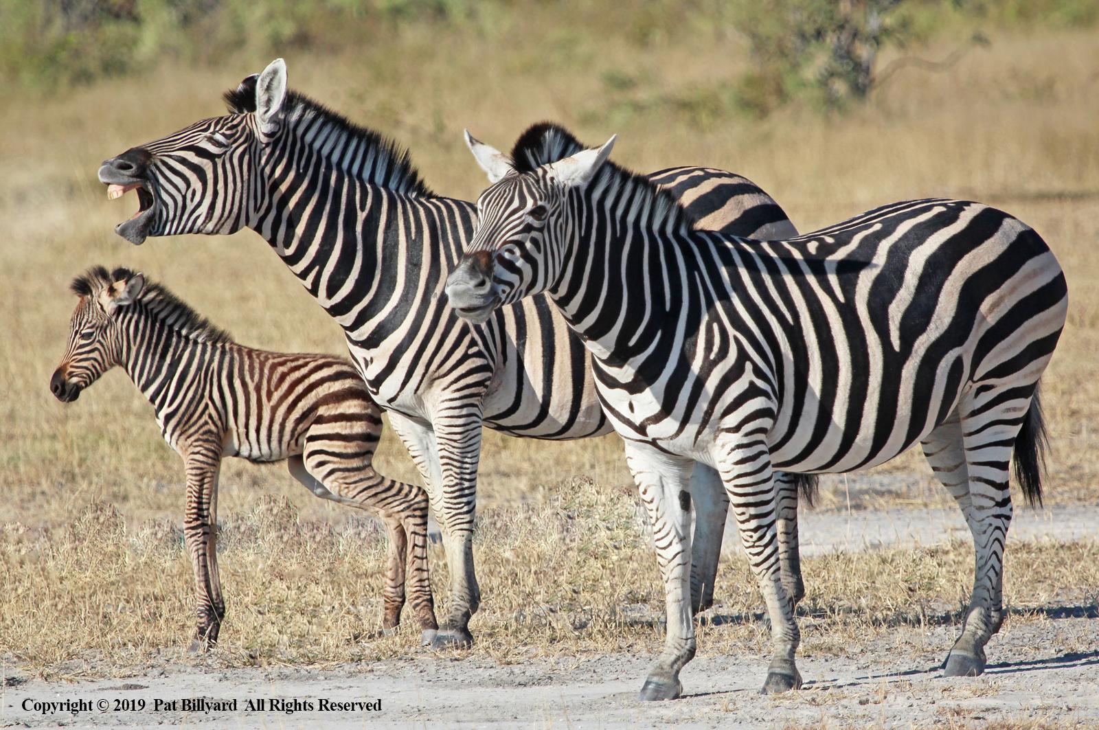 Burchell's Zebra by Pat Billyard