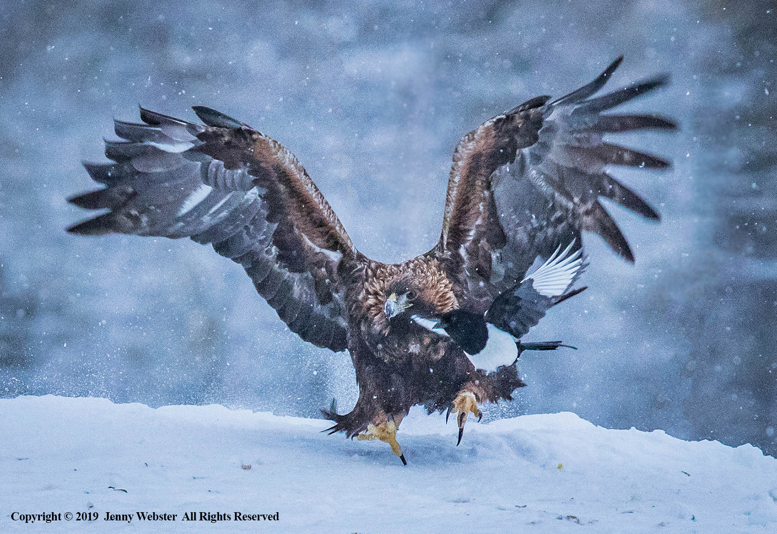 Golden Eagle Lands as Magpie Tries To Get Out Of The Way by Jenny Webster
