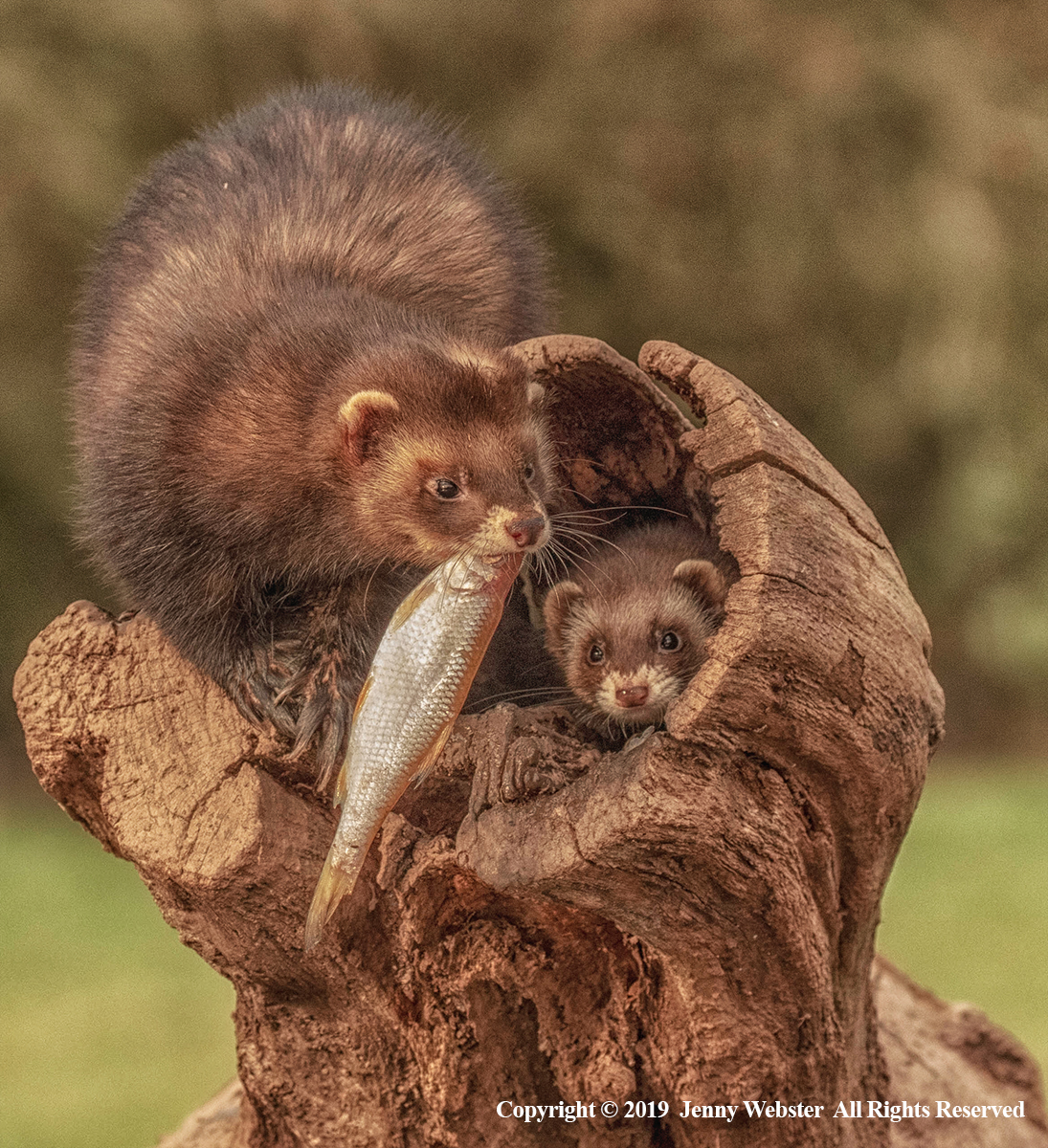 Male and Female Polecats. Offering Fish to Female