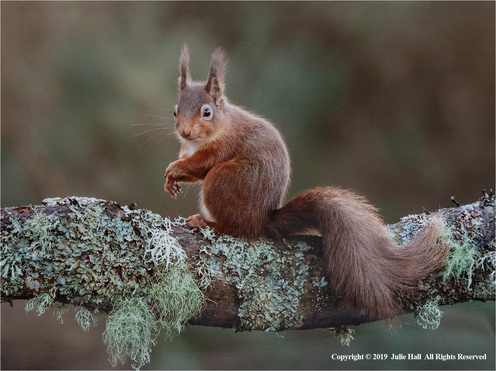 Red Squirrel on Lichen by Julie Hall