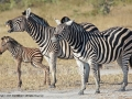 Burchell's Zebra by Pat Billyard