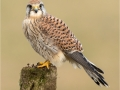 Kestrel, Female looking left by Julie Hall