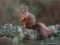 Red Squirrel on Lichen by Julie Hall