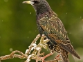 Starling (Sturnus Vulgaris) by Mike Childs