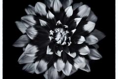 Dahlia-by-Sue-Vernon