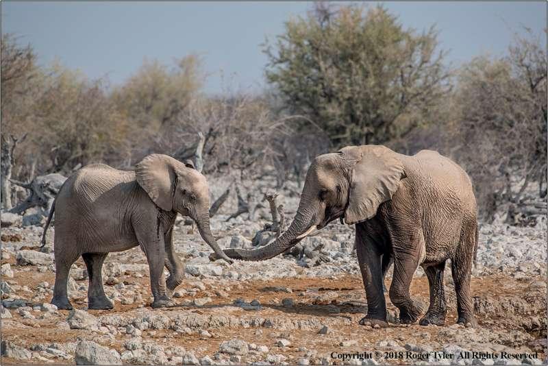 Elephant-Bonding-by-Roger-Tyler