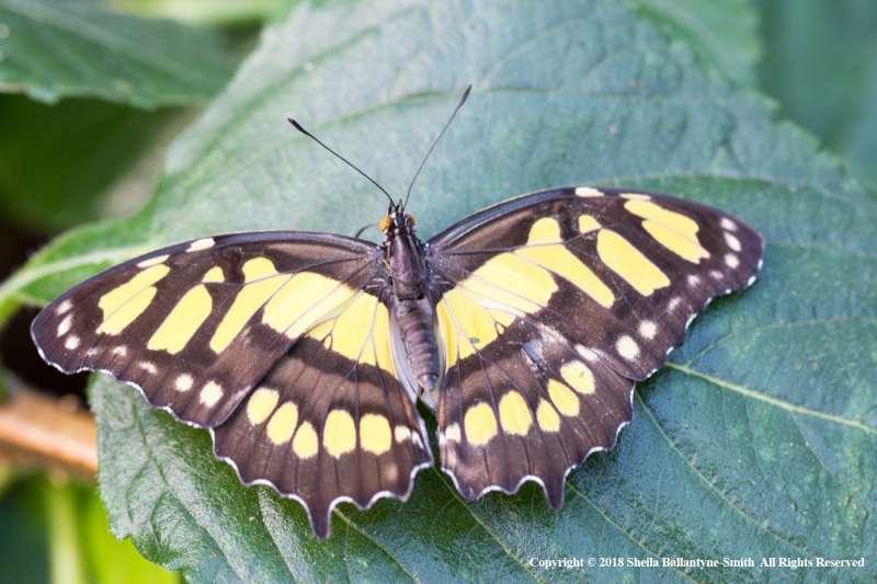 Malachite-butterfly-by-Sheila-Ballantyne-Smith