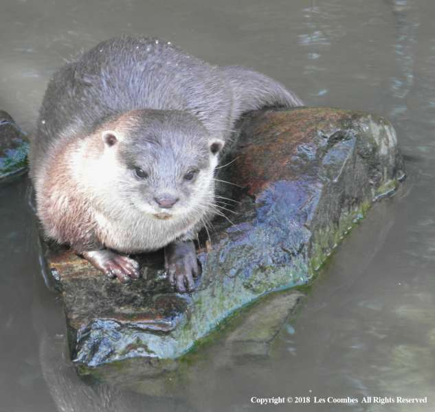 Otter-on-Rock-by-Les-Coombes