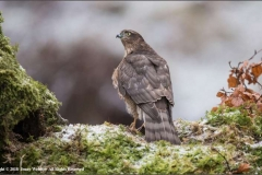 Female-Sparrow-Hawk-by-Jenny-Webster
