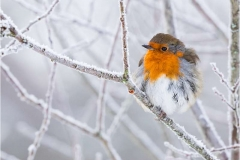 Robin-in-Winter-by-Julie-Hall