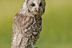 Tawny-Owl-by-Mike-Childs