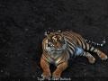 SeanBullock_Tiger